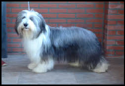 Bearded Collie Home pagina
